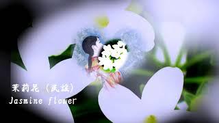 『茉莉花』ジャスミンの花を意味する中国民謡。2008年に北京オリンピックにおいて、アレンジされた『茉莉花 』がメダル授与式のテーマ曲として使用された。【紅葉改編新詞:茉莉花】唱歌、楽しく勉強しましょう